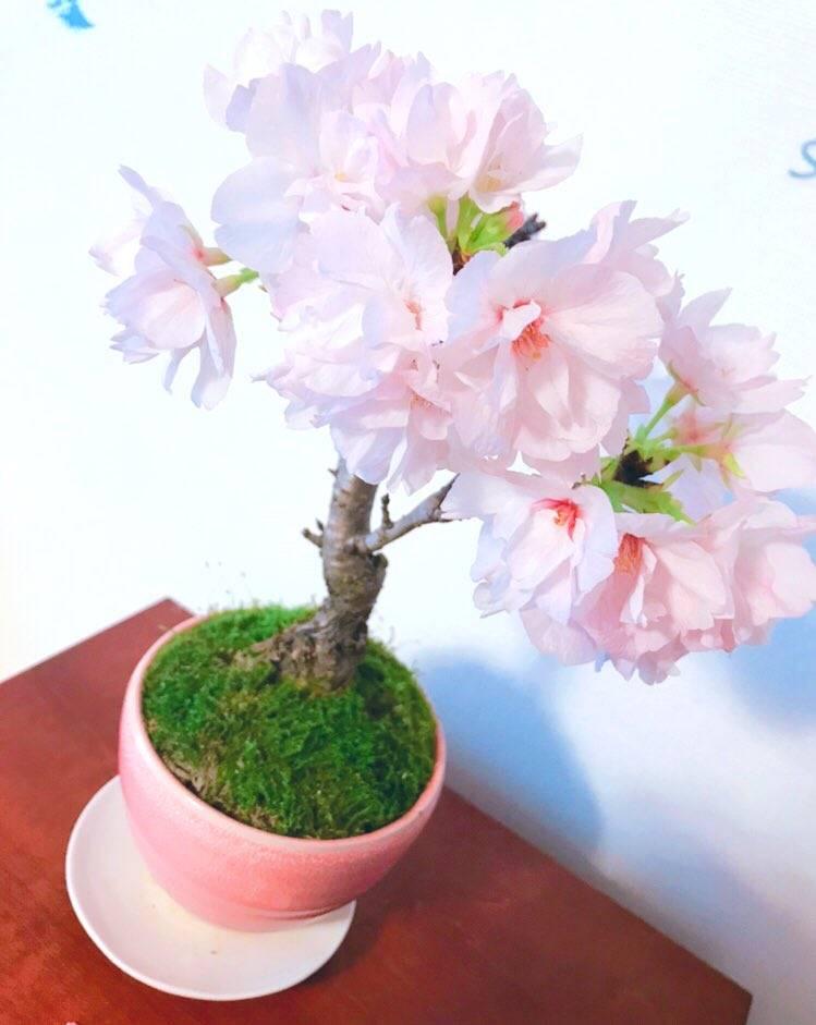 きっと満開の桜が咲きます!✨✨✨
